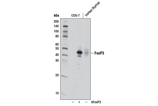 Western blot analysis of extracts from COS-7 cells, mock transfected (-) or transfected with human FoxP3 (hFoxP3; +), and human thymus using FoxP3 (D8O6C) Rabbit mAb.