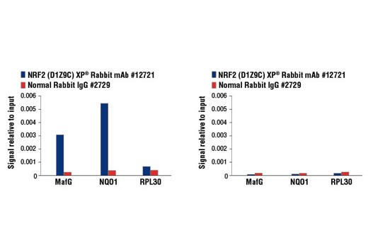 Chromatin immunoprecipitations were performed with cross-linked chromatin from MEF NRF2 wild-type (left) and NRF2 knock-out (right) cells, both treated with DEM (50 μM, 3 hr), and NRF2 (D1Z9C) XP<sup>®</sup> Rabbit mAb or Normal Rabbit IgG #2729 using SimpleChIP<sup>®</sup> Enzymatic Chromatin IP Kit (Magnetic Beads) #9003. The enriched DNA was quantified by real-time PCR using mouse MafG intron 1 primers, SimpleChIP<sup>®</sup> Mouse NQO1 Promoter Primers #12635, and SimpleChIP<sup>®</sup> Mouse RPL30 Intron 2 Primers #7015. The amount of immunoprecipitated DNA in each sample is represented as signal relative to the total amount of input chromatin, which is equivalent to one.