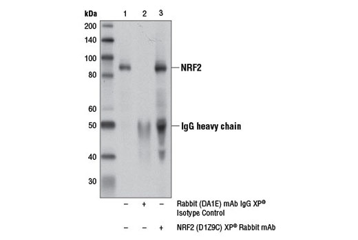 Immunoprecipitation of NRF2 from MEF wt cell extracts treated with MG-132 #2194 (10 μM, 10 hr) using Rabbit (DA1E) mAb IgG XP<sup>®</sup> Isotype Control #3900 (lane 2) or NRF2 (D1Z9C) XP<sup>® </sup>Rabbit mAb (lane 3). Lane 1 is 10% input. Western blot analysis was performed using NRF2 (D1Z9C) XP<sup>® </sup>Rabbit mAb (lane 3).