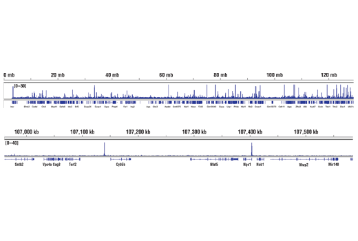 Chromatin Immunoprecipitation Image 2: NRF2 (D1Z9C) XP® Rabbit mAb