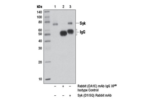 Monoclonal Antibody - Syk (D1I5Q) Rabbit mAb - Immunoprecipitation, Western Blotting, UniProt ID P43405, Entrez ID 6850 #12358, Lymphocyte Signaling