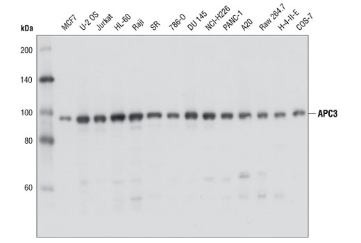 Western blot analysis of extracts from various cell lines using APC3 (D3I1V) Rabbit mAb.