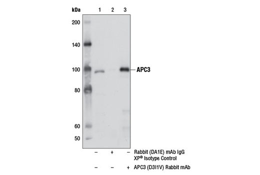 Immunoprecipitation Image 1: APC3 (D3I1V) Rabbit mAb