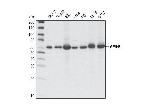 Western blot analysis of extracts from various cell types using AMPKα (F6) Mouse mAb.