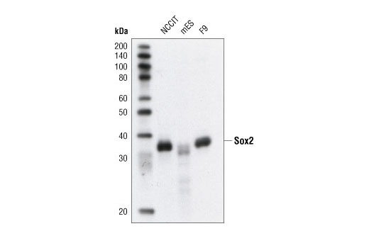 Western blot analysis of extracts from NCCIT, mouse embryonic stem cells (mESCs), and F9 cells using Sox2 Antibody.