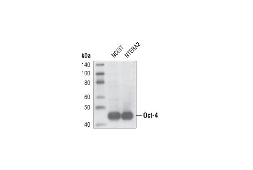 Western blot analysis of NCCIT and NTERA2 cell extracts using Oct-4 Antibody.