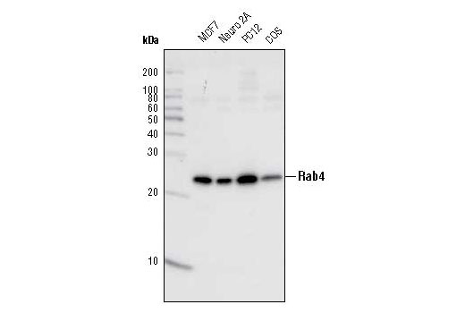 Western blot analysis of extracts from various cell types using Rab4 Antibody.