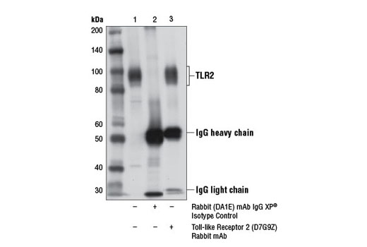 Immunoprecipitation of TLR2 from MUTZ-3 cell extracts using Rabbit (DA1E) mAb IgG XP<sup>®</sup> Isotype Control #3900 (lane 2) or Toll-like Receptor 2 (D7G9Z) Rabbit mAb (lane 3). Lane 1 is 10% input. Western blot analysis was performed using Toll-like Receptor 2 (D7G9Z) Rabbit mAb.