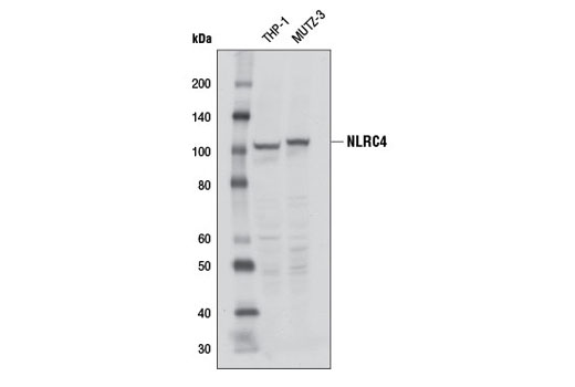 Western blot analysis of extracts from THP-1 and MUTZ-3 cells using NLRC4 (D5Y8E) Rabbit mAb.