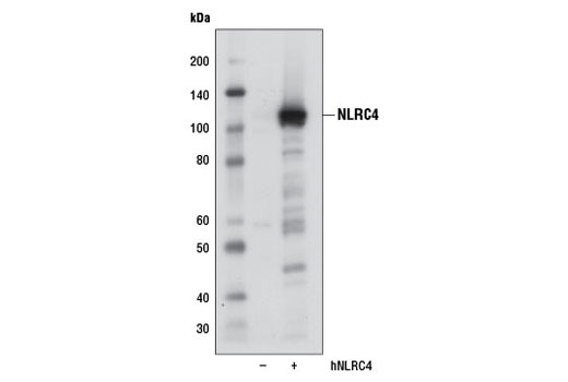 Western blot analysis of extracts from 293T cells, mock transfected (-) or transfected with a construct expressing full-length human NLRC4 (hNLRC4; +), using NLRC4 (D5Y8E) Rabbit mAb.