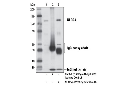 Immunoprecipitation of NLRC4 from MUTZ-3 cell extracts using Rabbit (DA1E) mAb IgG XP<sup>®</sup> Isotype Control #3900 (lane 2) or NLRC4 (D5Y8E) Rabbit mAb (lane 3). Lane 1 is 10% input. Western blot analysis was performed using NLRC4 (D5Y8E) Rabbit mAb.