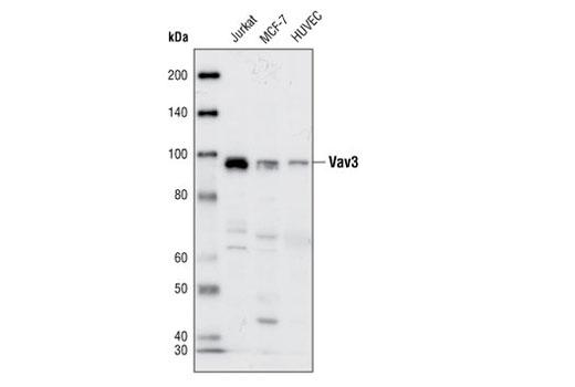 Polyclonal Antibody - Vav3 Antibody - Western Blotting, UniProt ID Q9UKW4, Entrez ID 10451 #2398 - #2398
