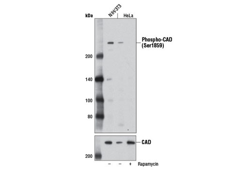 Rat Aspartate Carbamoyltransferase Activity