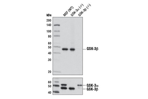 Western blot analysis of extracts from wild-type, GSK-3α (-/-), and GSK3β (-/-) mouse embryonic fibroblasts (MEFs) using GSK-3β (D5C5Z) XP<sup>®</sup> Rabbit mAb (upper) and GSK-3α/β (D75D3) XP<sup>®</sup> Rabbit mAb #5676 (lower). (MEF wild type, GSK-3α (-/-), and GSK-3β (-/-) cells were kindly provided by Dr. Jim Woodgett, University of Toronto, Canada).