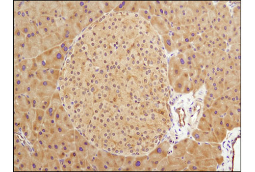 Immunohistochemical analysis of paraffin-embedded mouse pancreas using GSK-3β (D5C5Z) XP<sup>®</sup> Rabbit mAb.