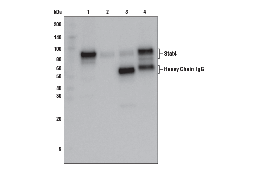 Immunoprecipitation of Stat4 protein from NK-92 cell extracts. Lane 1 is 10% input, lane 2 is beads only, lane 3 is Rabbit (DA1E) mAb IgG XP® Isotype Control #3900, and lane 4 is Stat4 (C46B10) Rabbit mAb. Western blot analysis was performed using Stat4 (C46B10) Rabbit mAb.