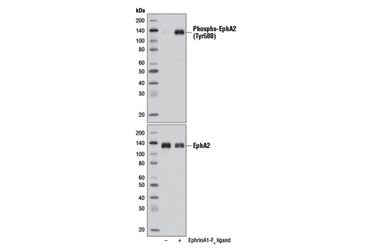 Western blot analysis of extracts from SNB19 cells, untreated (-) or EphrinA1-F<sub>c</sub> ligand-treated (100 ng/ml, 5 min; +), using Phospho-EphA2 (Tyr588) (D7X2L) Rabbit mAb (upper) or EphA2 (D4A2) XP<sup>®</sup> Rabbit mAb #6997 (lower).