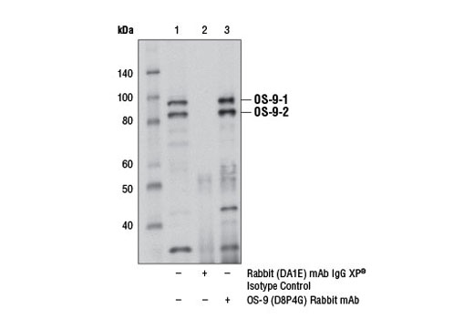 Immunoprecipitation of OS-9 from SJSA-1 cell extracts, using Rabbit (DA1E) mAb IgG XP<sup>®</sup> Isotype Control #3900 (lane 2) or OS-9 (D8P4G) Rabbit mAb (lane 3). Lane 1 is 10% input. Western blot analysis was performed with OS-9 (D8P4G) Rabbit mAb.