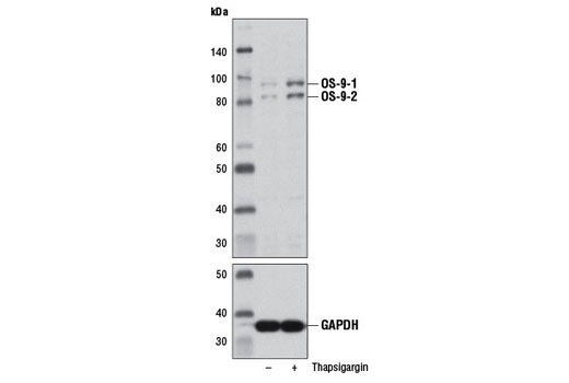 Western blot analysis of extracts from HeLa cells, untreated (-) or thapsigargin-treated (2 nM, 16 hr; +), using OS-9 (D8P4G) Rabbit mAb (upper) or GAPDH (D16H11) XP<sup>®</sup> Rabbit mAb #5174 (lower).