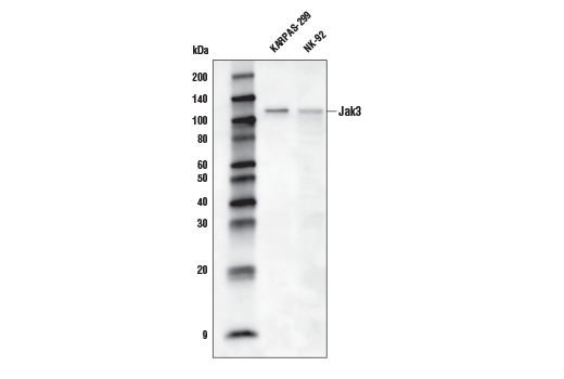 Western blot analysis of extracts from KARPAS-299 and NK-92 cells using Jak3 (D1H3) Rabbit mAb (Biotinylated). KARPAS cell line source: Dr. Abraham Karpas at the University of Cambridge.