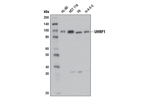 Western blot analysis of extracts from various cell lines using UHRF1 (D6G8E) Rabbit mAb.