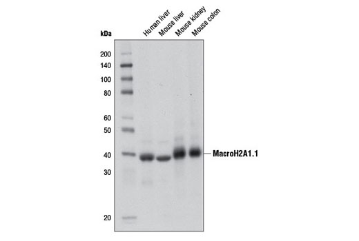 Western blot analysis of extracts from various tissues using MacroH2A1.1 (D5F6N) Rabbit mAb.