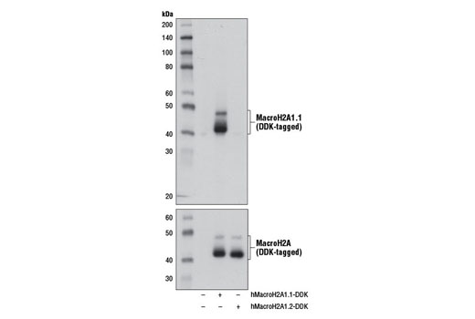 Western blot analysis of extracts from 293 cells, mock transfected (-) or transfected with a construct expressing DDK-tagged full-length human MacroH2A1.1 (hMacroH2A1.1-DDK; +) or DDK-tagged full-length human MacroH2A1.2 (hMacroH2A1.2-DDK; +), using MacroH2A1.1 (D5F6N) Rabbit mAb (upper) and DYKDDDDK Tag (9A3) Mouse mAb #8146 (lower).
