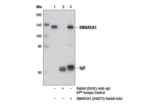 Immunoprecipitation of SMARCA1 from PANC-1 cell extracts using Rabbit (DA1E) IgG XP<sup>®</sup> Isotype Control #3900 (lane 2) or SMARCA1 (D4Q7V) Rabbit mAb (lane 3). Lane 1 is 10% input. Western blot analysis was performed using SMARCA1 (D4Q7V) Rabbit mAb.