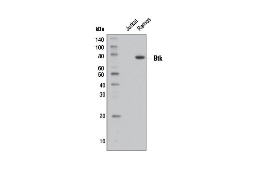 Monoclonal Antibody - Btk (D3H5) Rabbit mAb (Biotinylated) - Western Blotting, UniProt ID Q06187, Entrez ID 695 #12624, Antibodies to Kinases