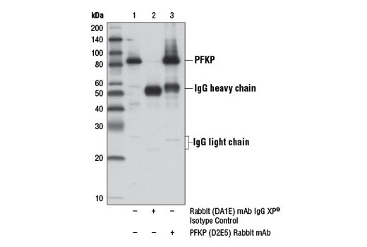 Immunoprecipitation of PFKP from HeLa cell extracts using Rabbit (DA1E) mAb IgG XP<sup>®</sup> Isotype Control #3900 (lane 2) or PFKP (D2E5) Rabbit mAb (lane 3). Lane 1 is 10% input. Western blot analysis was performed using PFKP (D2E5) Rabbit mAb.
