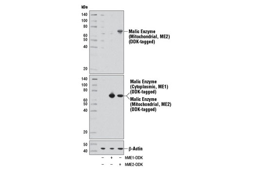Western blot analysis of extracts from 293 cells, mock transfected (-) or transfected with either a construct expressing DDK-tagged full-length human malic enzyme (cytoplasmic) (hME1-DDK; +) or a construct expressing DDK-tagged full-length human malic enzyme (mitochondrial) (hME2-DDK; +), using Malic Enzyme 2 Antibody (upper), DYKDDDDK Tag (9A3) Mouse mAb #8146 (middle), or β-Actin (D6A8) Rabbit mAb #8457 (lower).