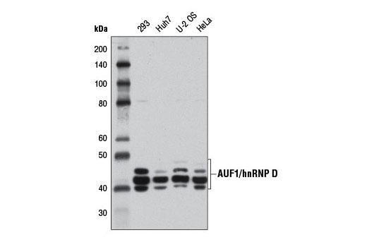 Western blot analysis of extracts from various cells using AUF1/hnRNP D (D6O4F) Rabbit mAb.