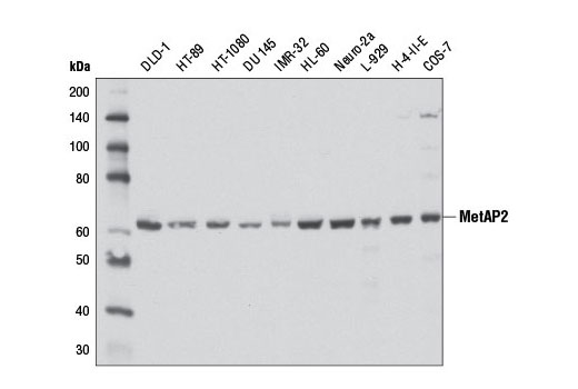 Western blot analysis of extracts from various cell lines using MetAP2 (D3I1H) Rabbit mAb.
