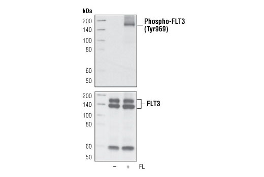 Monoclonal Antibody - Phospho-FLT3 (Tyr969) (C24D9) Rabbit mAb, UniProt ID P36888, Entrez ID 2322 #3463 - Rtk