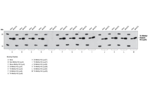 Antibody specificity was determined by Western blotting. HeLa and NIH/3T3 cell lysates were probed with Tri-Methyl Histone H3 (Lys4) (C42D8) Rabbit mAb (Panel A) or Tri-Methyl Histone H3 (Lys4) Rabbit mAb pre-adsorbed with 1.5 μM of various competitor peptides (Panels B-M). As shown, only the tri-methyl histone H3 (Lys4) peptide competed away binding of the antibody.