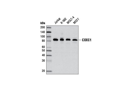 Polyclonal Antibody Unmethylated Cpg Binding