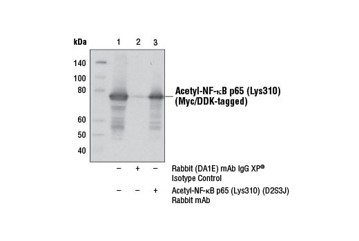 Immunoprecipitation of acetyl-NF-κB p65 (Lys310) from 293T cells, cotransfected with Myc/DDK-tagged human NF-κB p65 and HA-tagged human p300, using Rabbit (DA1E) mAb IgG XP<sup>®</sup> Isotype Control #3900 (lane 2) or Acetyl-NF-κB p65 (Lys310) (D2S3J) Rabbit mAb (lane 3). Lane 1 is 10% input. Western blot analysis was performed using Acetyl-NF-κB p65 (Lys310) (D2S3J) Rabbit mAb.