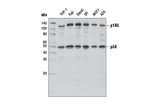 Western blot analysis of extracts from various cell lines using NF-κB1 p105/p50 (D7H5M) Rabbit mAb.