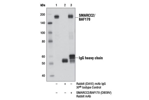 Immunoprecipitation of SMARCC2/BAF170 from PANC-1 cell extracts, using Rabbit (DA1E) mAb IgG XP<sup>®</sup> Isotype Control #3900 (lane 2) or SMARCC2/BAF170 (D8O9V) Rabbit mAb (lane 3). Lane 1 is 10% input. Western blot analysis was performed using SMARCC2/BAF170 (D8O9V) Rabbit mAb.