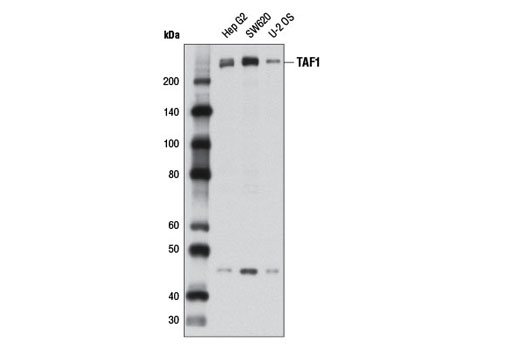 Monoclonal Antibody - TAF1 (D6J8B) Rabbit mAb - Immunoprecipitation, Western Blotting, UniProt ID P21675, Entrez ID 6872 #12781, Chromatin Regulation / Acetylation