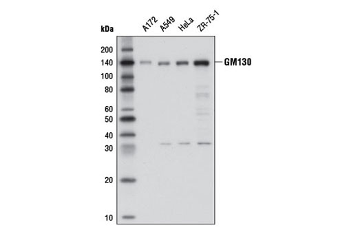 Western blot analysis of extracts from various cell lines using GM130 (D6B1) XP<sup>®</sup> Rabbit mAb.