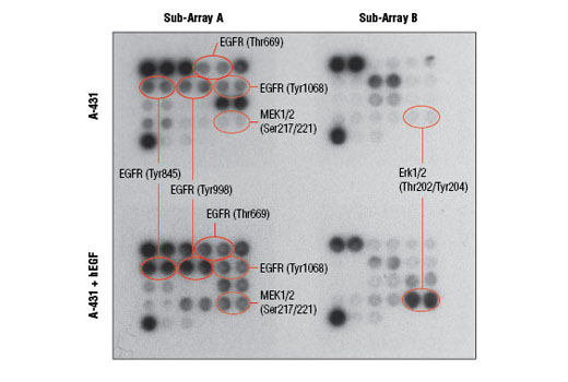 Image 2: PathScan® EGFR Signaling Antibody Array Kit (Chemiluminescent Readout)