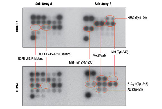 Image 4: PathScan® EGFR Signaling Antibody Array Kit (Chemiluminescent Readout)