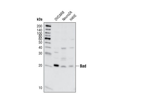 Monoclonal Antibody - Bad (11E3) Rabbit mAb (IP Preferred) - Immunoprecipitation, Western Blotting, UniProt ID Q92934, Entrez ID 572 #9268, Apoptosis