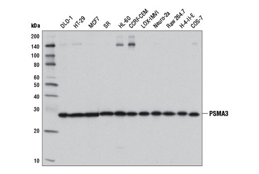 Western blot analysis of extracts from various cell lines using PSMA3 (D4Y9O) Rabbit mAb.