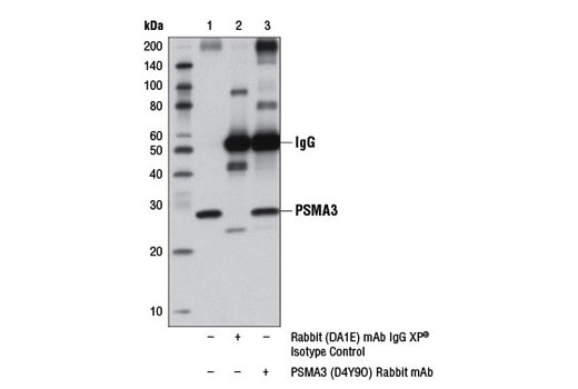 Immunoprecipitation of PSMA3 from 293T cell extracts, using Rabbit (DA1E) mAb IgG XP<sup>®</sup> Isotype Control #3900 (lane 2) or PSMA3 (D4Y9O) Rabbit mAb (lane 3). Lane 1 is 10% input. Western blot analysis was performed using PSMA3 (D4Y9O) Rabbit mAb.