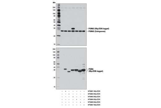 Western blot analysis of extracts from 293T cells, mock transfected (-) or transfected with constructs expressing Myc/DDK-tagged full-length human PSMA1 (hPSMA1-Myc/DDK; +), full-length human PSMA2 (hPSMA2-Myc/DDK; +), full-length human PSMA3 (hPSMA3-Myc/DDK; +), full-length human PSMA4 (hPSMA4-Myc/DDK; +), full-length human PSMA6 (hPSMA6-Myc/DDK; +), or full-length human PSMA7 (hPSMA7-Myc/DDK; +), using PSMA3 (D4Y9O) Rabbit mAb (upper) or DYKDDDDK Tag Antibody #2368 (lower).