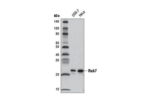 Western blot analysis of extracts from COS-7 and HeLa cells using Rab7 (D95F2) XP<sup>®</sup> Rabbit mAb (HRP Conjugate).