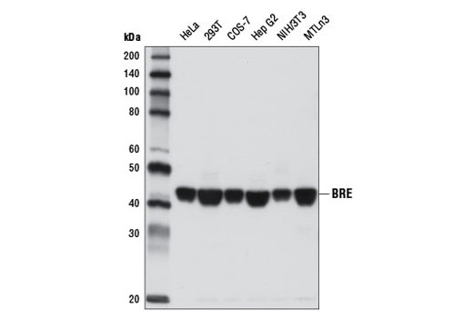 Western blot analysis of extracts from various cell lines using BRE (D8Q1J) Rabbit mAb.