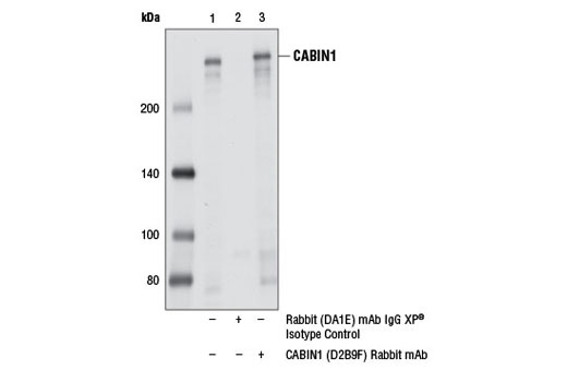 Immunoprecipitation of CABIN1 from HCT 116 cell extracts using Rabbit (DA1E) mAb IgG XP<sup>®</sup> Isotype Control #3900 (lane 2) or CABIN1 (D2B9F) Rabbit mAb (lane 3). Lane 1 is 10% input. Western blot analysis was performed using CABIN1 (D2B9F) Rabbit mAb.